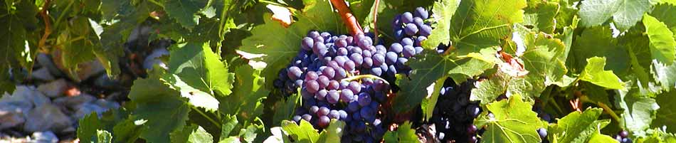 Ripening Minervois grapes in a vineyard in Languedoc